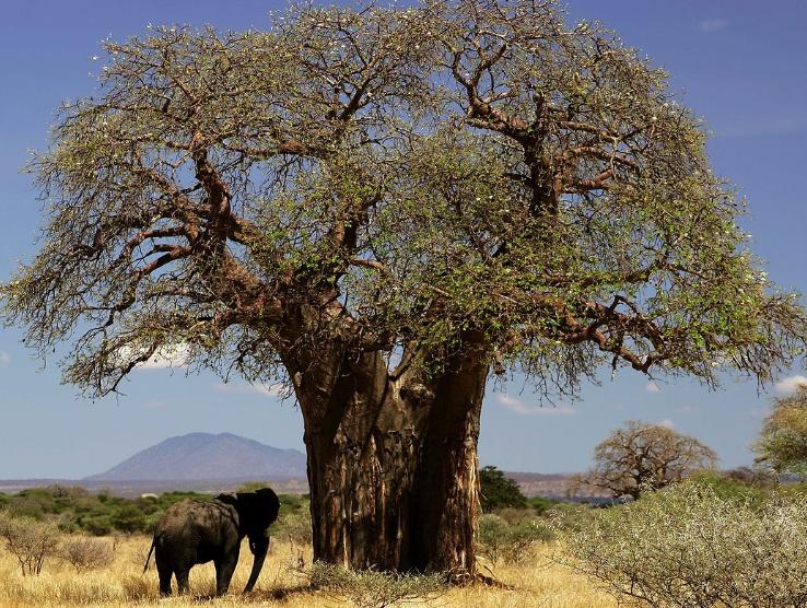 Alerte: Disparition «spectaculaire» des plus vieux baobabs d'Afrique