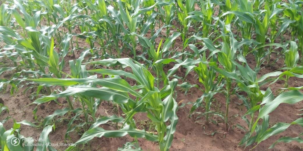 Bignona: Karambénor emblave 60ha de maïs dans les Kalounayes