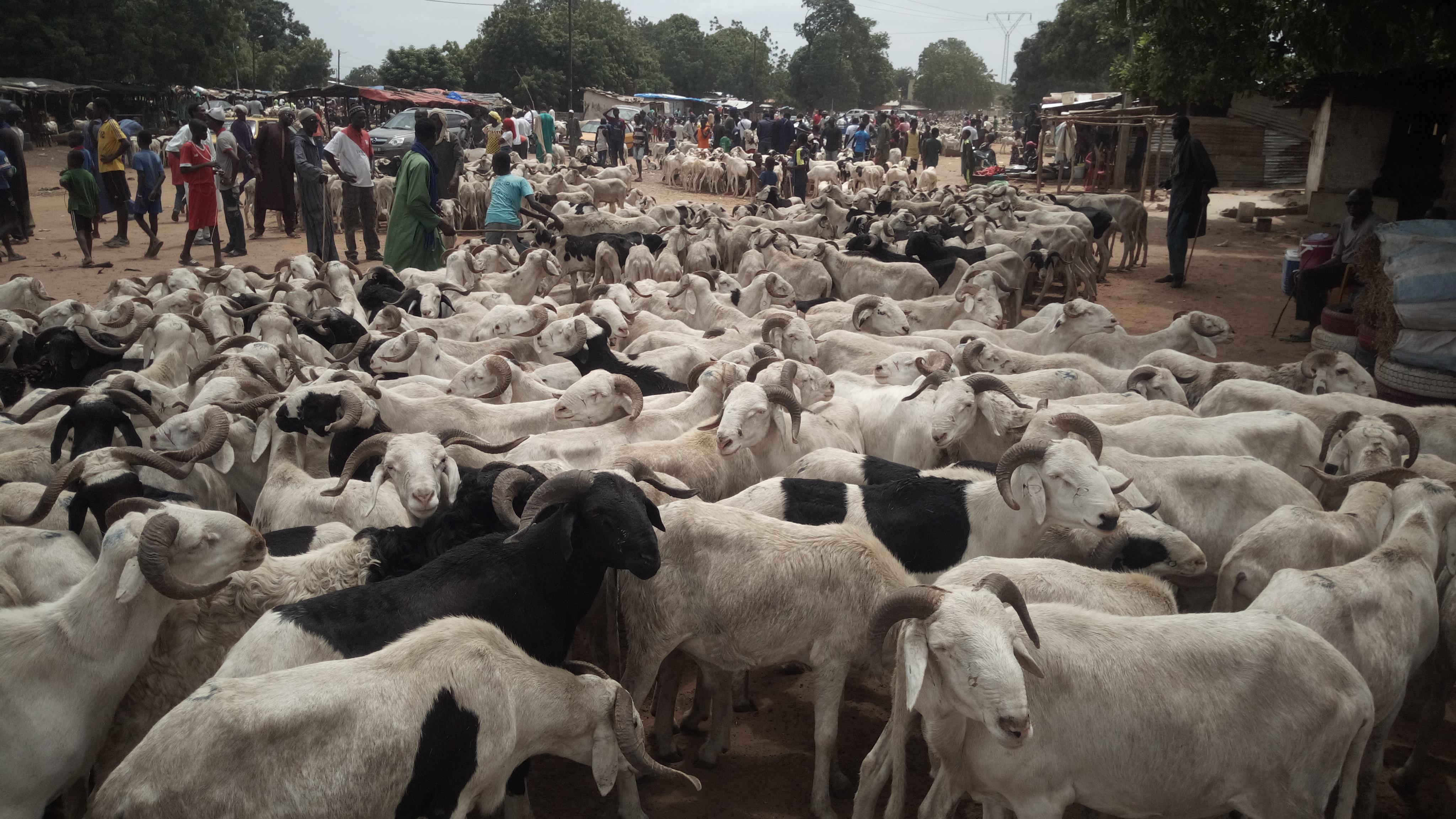 Ziguinchor: Le prix du mouton varie entre 80 milles et 2 millions
