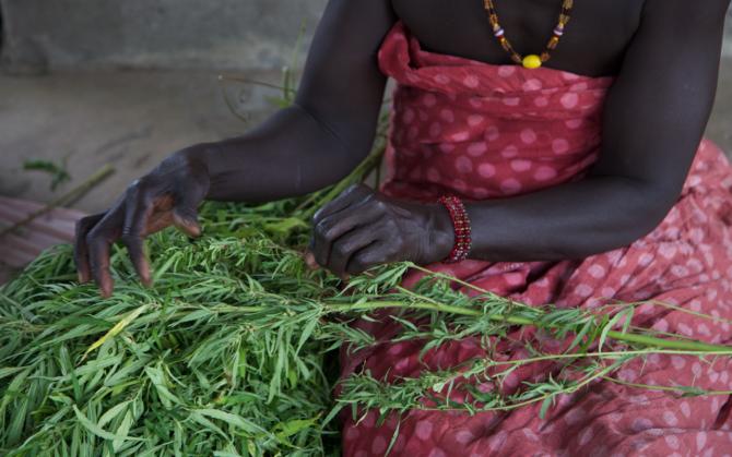 En Casamance, les agriculteurs se tournent vers le cannabis pour vivre