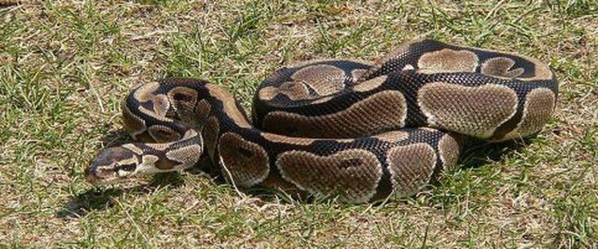 LINGUÈRE: Deux pythons capturés à l'école élémentaire de Darou Salam Mélakh