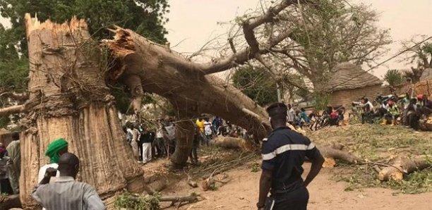 Drame à Sédhiou : Un cycliste meurt en passant sous un arbre qu'on abattait